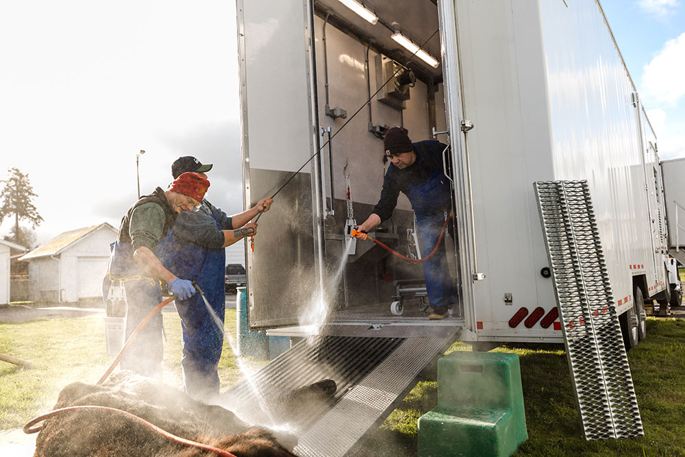 Butchers cleaning beef cow with water after bleeding outside mobile slaughter trailer
