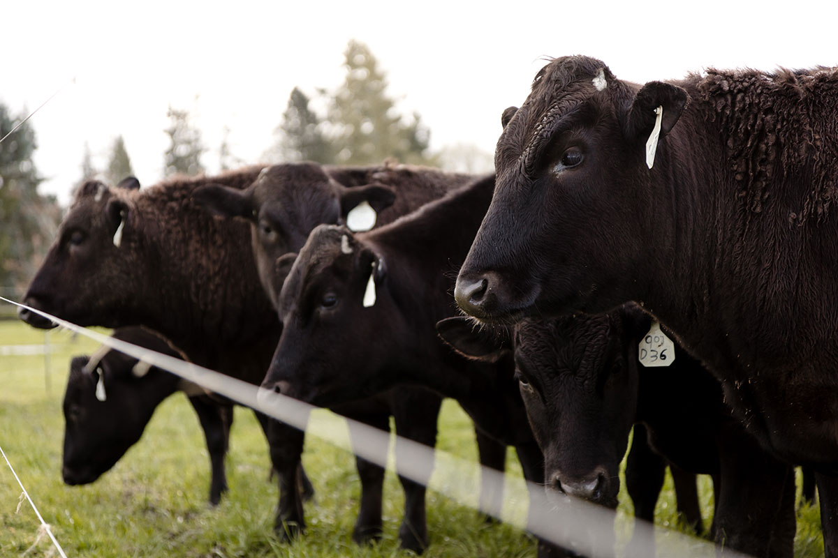 Black Angus Wagyu beef cow mix on farm in Pacific Northwest Washington State